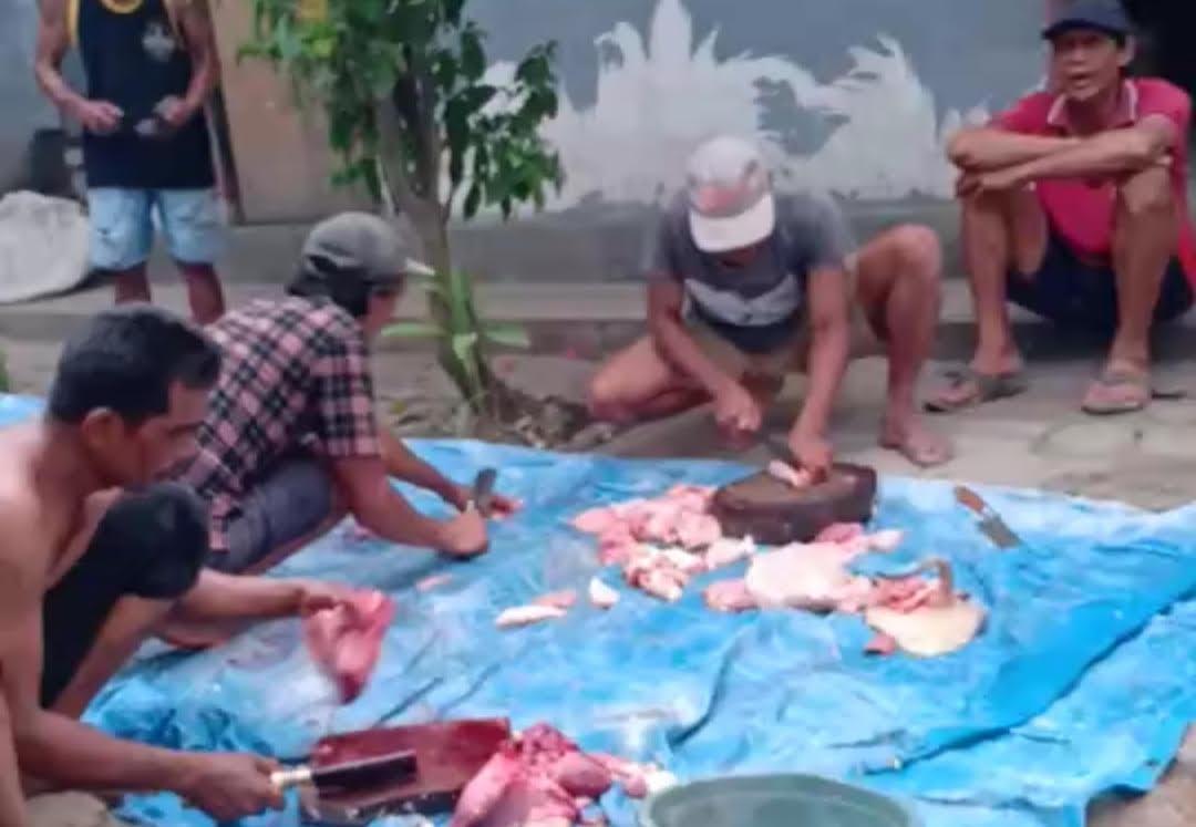 WARGA Bukit Jangkrik mepatung babi ditengah lesunya ekonomi akibat pandemi Covid-19. Foto: adi