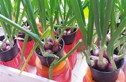 DINAS Pertanian dan Pangan Kabupaten Badung mengajak masyarakat untuk memanfaatkan perkarangan rumah yang masih tersisa untuk menanam kebutuhan pokok sehari-hari, seperti cabai, sayur-mayur, umbi-umbian dan lainnya. Foto: ist