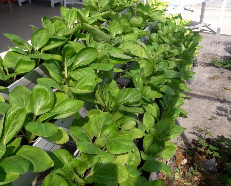 SAYUR hijau yang ditanam di Yayasan Dwijendra. Foto: ist