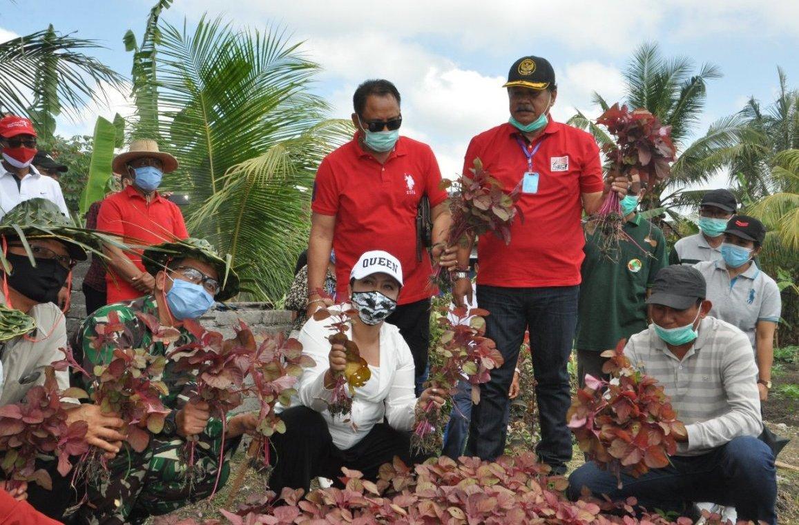 Foto: PANEN SAYUR BUPATI Eka bersama pihak terkait saat panen sayur bayam merah yang ditanam dengan memanfaatkan lahan tidur di Tabanan, Jumat (21/8). Foto: gap