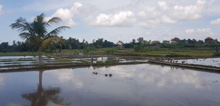 Foto: Persawahan di Pejeng PERSAWAHAN yang ada di salah satu subak wilayah di Gianyar. Foto: adi