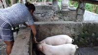 Foto: BABI PETERNAK babi diharap dapat melakukan penyiapan persediaan ulang atau restoking jelang hari raya Galungan dan Kuningan, pekan depan. Foto: nad