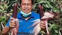 KADIS Pertanian Kota Denpasar, I Gede Ambara Putra, menunjukkan jagung ketan hitam hasil panen perdana di Subak Umadesa, Jumat (18/9). Foto: ist
