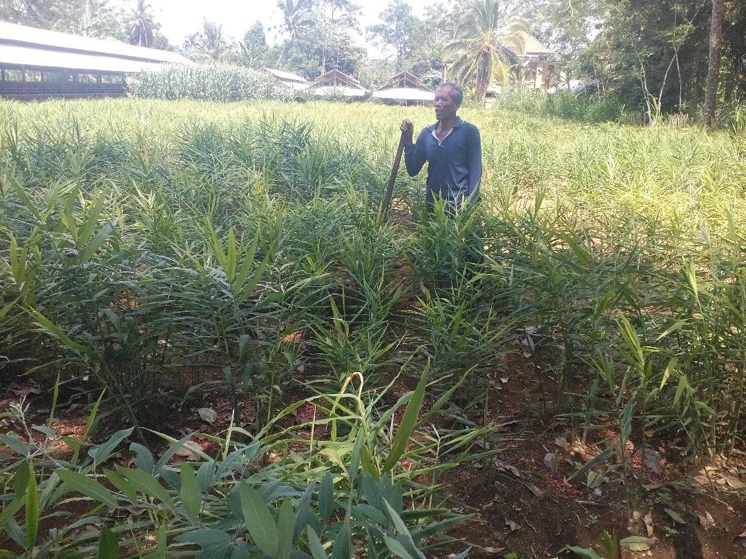 Foto: JAHE GAJAH PETANI di Desa Tiga, Kecamatan Susut, Bangli, tertarik mengembangkan tanaman jahe karena menanjaknya harga jahe belakangan ini. Foto: gia