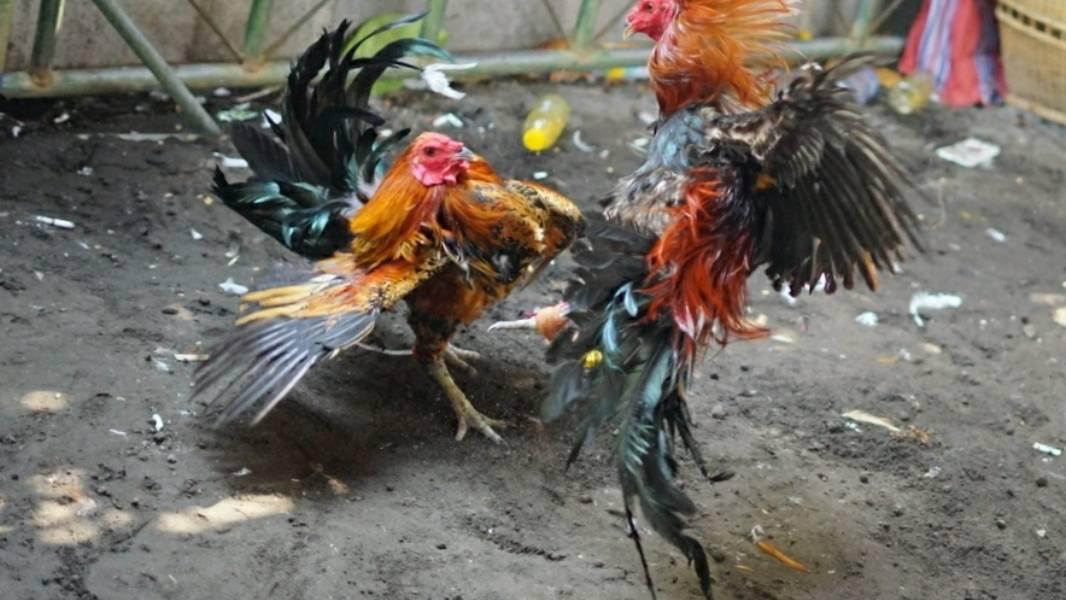 Foto: TAJEN MEMUTUS rantai penularan Covid-19, maka keramaian dalam bentuk tajen (sabung ayam) di setiap desa adat harus dihentikan sementara. Foto: net