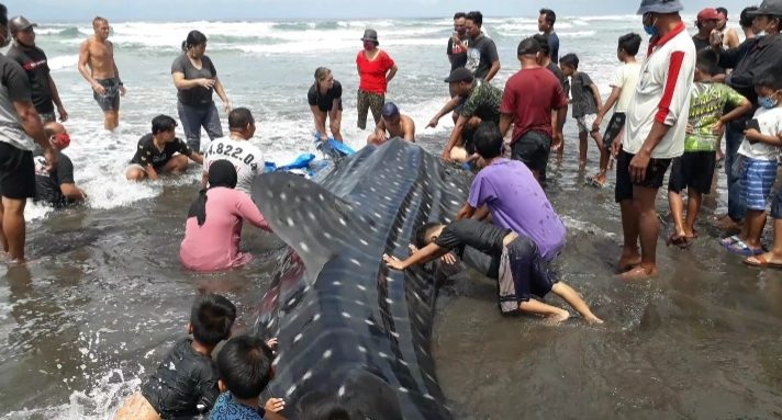 PROSES evakuasi kakya bintang (hiu paus) yang terdampar di Pantai Pekutatan, Banjar Yeh Kuning, Desa Pekutatan, Kecamatan Pekutatan, Jembrana, Selasa (29/9/2020). Foto: ist
