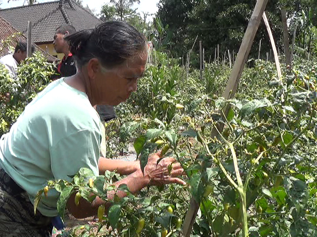 PETANI cabai di Bangli mengeluhkan serangan antraknosa. Kondisi ini membuat banyak cabai membusuk di pohon, dan membuat para petani memanen lebih awal sebelum busuk menyerang. Foto: gia