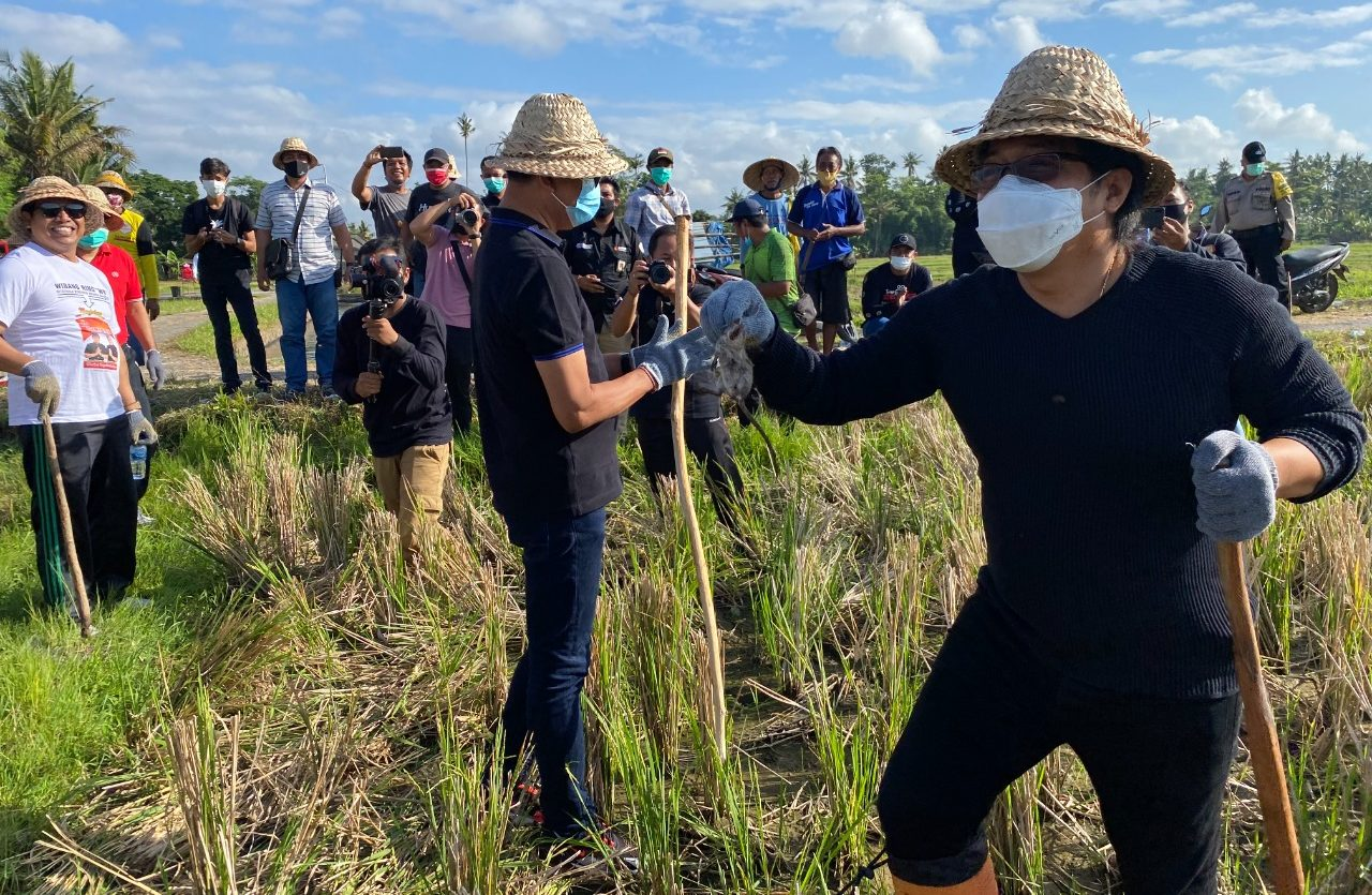 NYOMAN Giri Prasta dan I Ketut Suiasa terlibat langsung dalam melaksanakan penggrompyokan atau pembasmian hama tikus di areal persawahan Subak Penarungan. Foto: ist