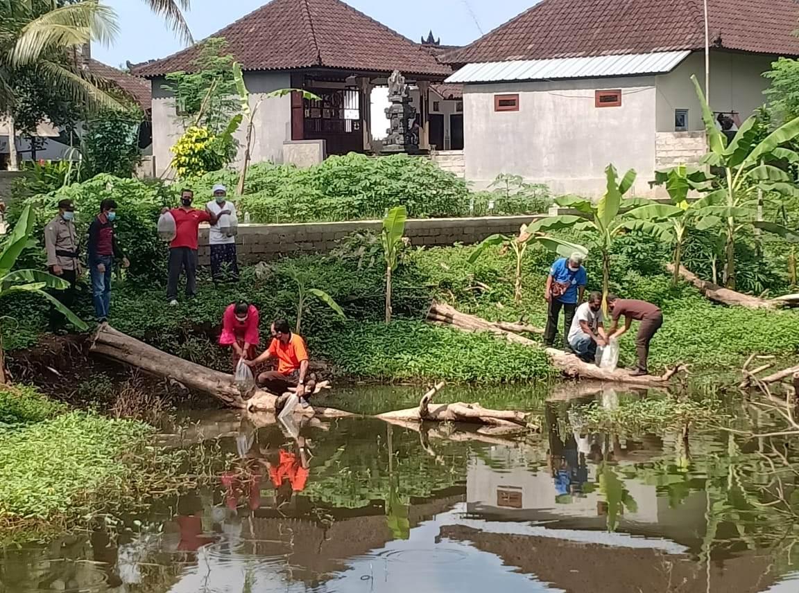 DISKANLA Tabanan melaksanakan tebar benih ikan air tawar jenis nila, di Banjar Tengah Kelod, Desa Bantas, Kecamatan Selemadeg Timur, Jumat (6/11/2020). Foto: gap