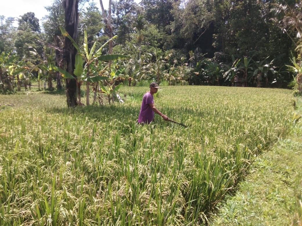 SEORANG petani berada di lahan pertanian yang diserang hama belalang. Di wilayah Selat, Karangasem, serangan hama belalang menjadi momok petani. Hama ini kerap menyebabkan terjadinya gagal panen. Foto: nad