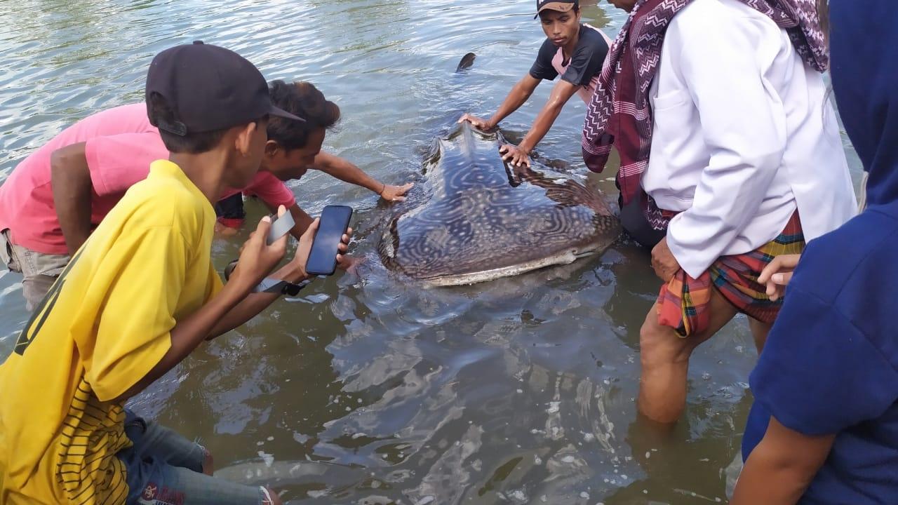 HIU puas yang terdampar di perairan Sekotong, Lombok Barat, NTB membuat heboh warga sekitar. Foto: ade