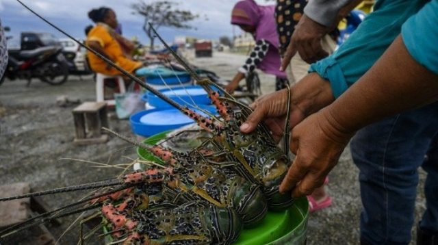 INILAH lobster yang dibudidayakan nelayan di perairan Selatan Lombok Timur. Foto: rul