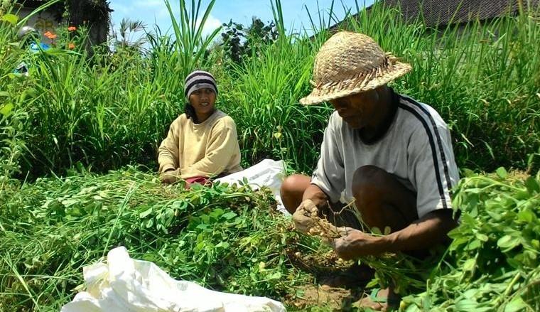 PETANI di Subak Yangapi, Tembuku, Bangli, beberapa bulan terakhir tidak bisa menanam padi dan beralih tanam palawija karena debit air mengecil. Foto: gia