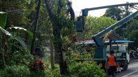 PETUGAS gabungan dari BPBD, DLH, dan PLN, Jumat (27/11/2020), merabas sejumlah pohon perindang di Tabanan, guna mengantisipasi kemungkinan hal buruk atas cuaca ekstrem yang terjadi akhir-akhir ini. Foto: ist