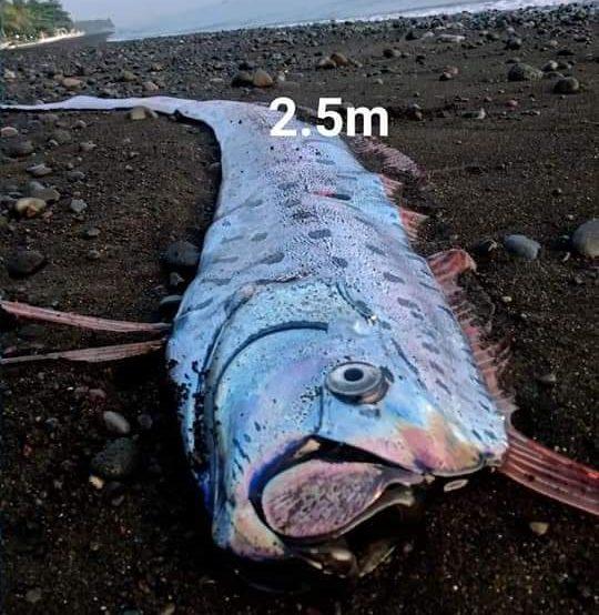 SEEKOR ikan yang diduga berjenis ikan Oarfish terdampar, Jumat (6/11/2020) pagi di pesisir wilayah di kawasan Pesisir Pantai Banjar Dinas Taman Sari, Tianyar, Kubu, Karangasem. Foto: ist
