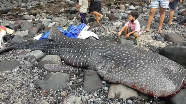 BANGKAI ikan puas tutul (rhincodon typus) ditemukan terdampar di pesisir pantai, Minggu (6/12/2020) pagi. Foto: nad