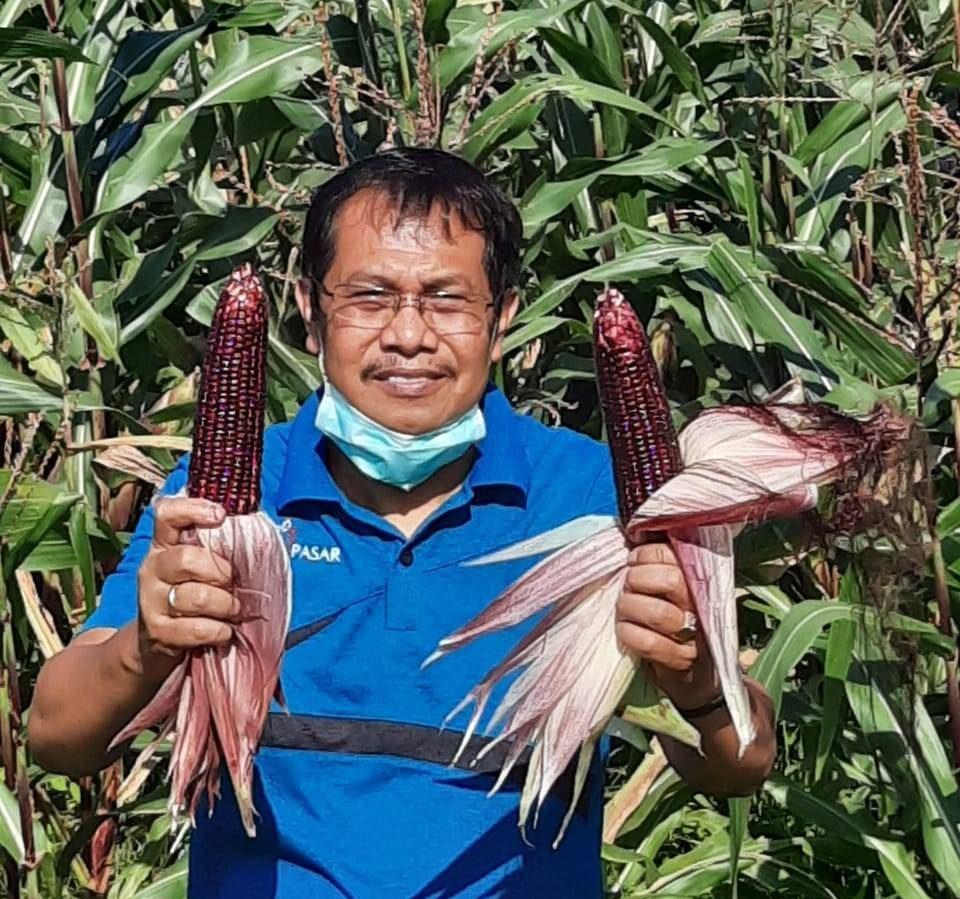 KEPALA Dinas Pertanian Kota Denpasar, Ir. I Gede Ambara Putra, M.Agb, disela pelaksanaan panen perdana Jagung Ketan Hitam di Subak Umadesa, Jumat (18/9/2020). Foto: ist