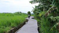 SEORANG petani berjalan di Jalan Usaha Tani, Subak Pegatepan, Desa Gelgel yang baru diresmikan dengan menggunakan dana PEN senilai Rp100 juta. Foto: ist