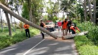 PETUGAS mengevakuasi pohon kelapa di Jalan Pantai Saba, Banjar Banda, Blahbatuh, yang tumbang hingga menutup jalan. Foto: adi