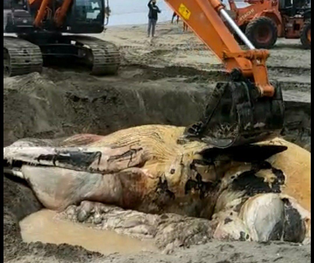 Bangkai Paus yang Terdampar di Pantai Batu Belig Akhirnya Dikubur