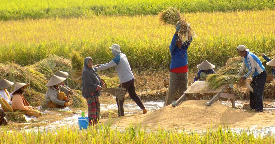 PETANI di Desa Sesela, Kecamatan Gunungsari, Lombok Barat Tengah, memanen hasil padi di sawah mereka saat ini. Namun rencana impor beras oleh Menteri Perdagangan bakal membuat hasil panen mereka terancam tidak terserap oleh Bulog ke depannya. Kondisi itu, membuat petani bakal merugi. Foto: rul
