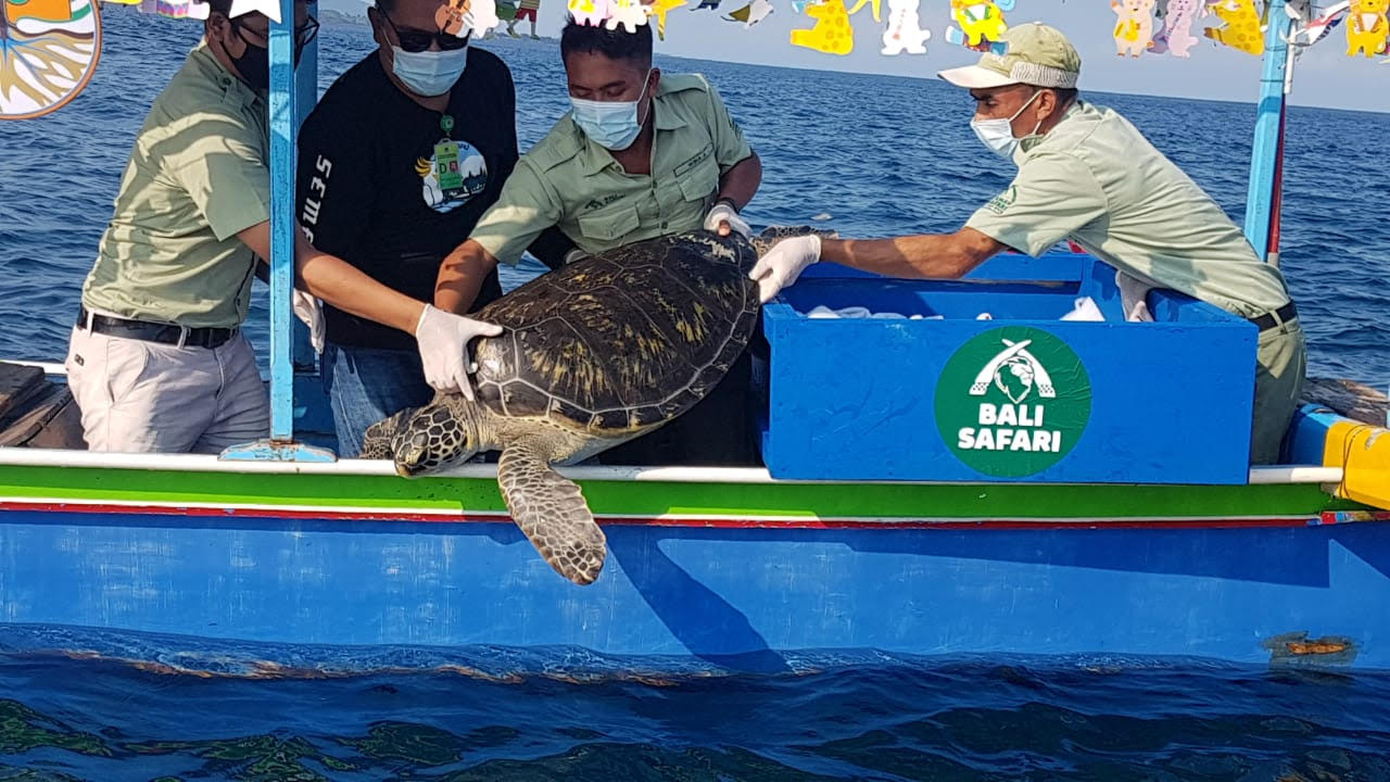 PELEPASAN penyu oleh Bali Safari bersama Balai Konservasi dan Sumber Daya Alam (BKSDA) Bali. Foto: ist