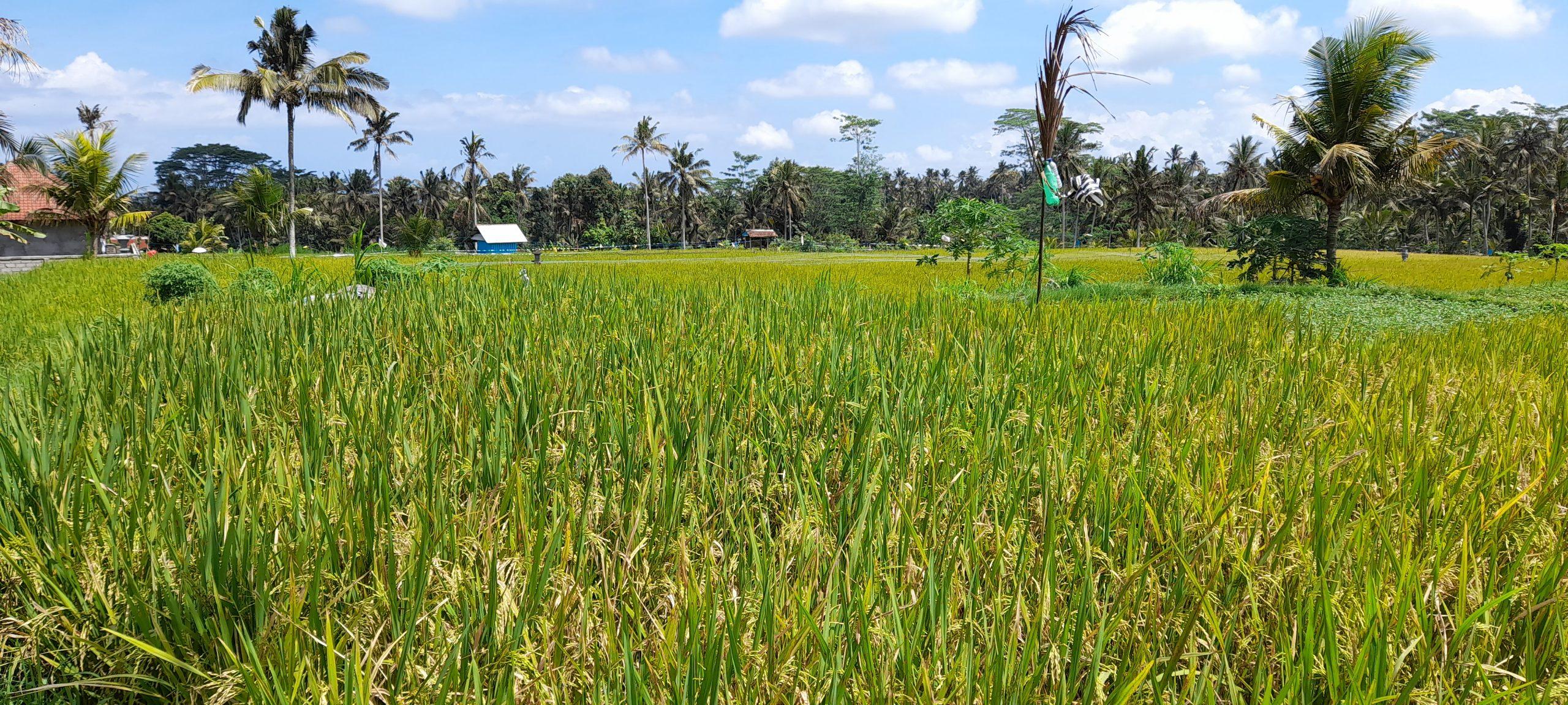 ANGKA produksi gabah di Kabupaten Bangli dibandingkan kebutuhan konsumsi rata-rata per bulan menunjukkan surplus 2.066,774 ton. Foto: ist