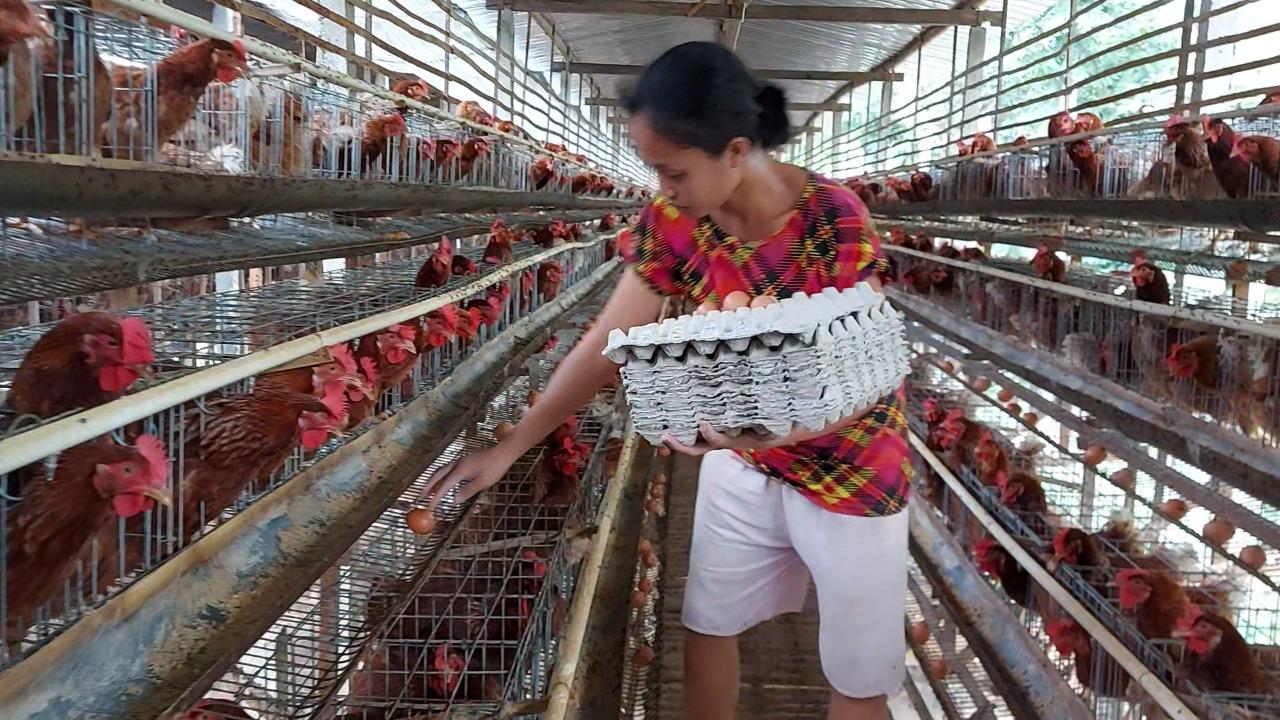 SEORANG pekerja mengambil telur di kandang di Karangasem. Terus melambungnya harga pakan makin menyulitkan para pemilik usaha peternakan ayam petelur di Karangasem. Foto: ist
