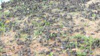RIBUAN burung pipit jatuh di bawah pohon asem di Setra Banjar Sema, Desa Pering, Blahbatuh, kebanyakan ditemukan mati. Foto: ist